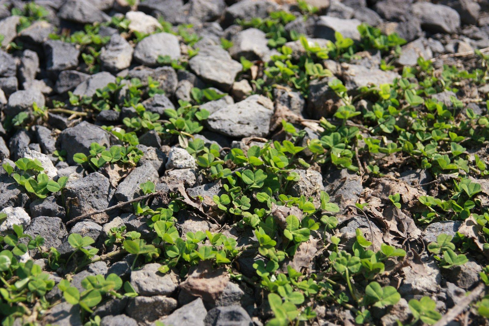 春にびっしり芽吹くクローバーの若葉
