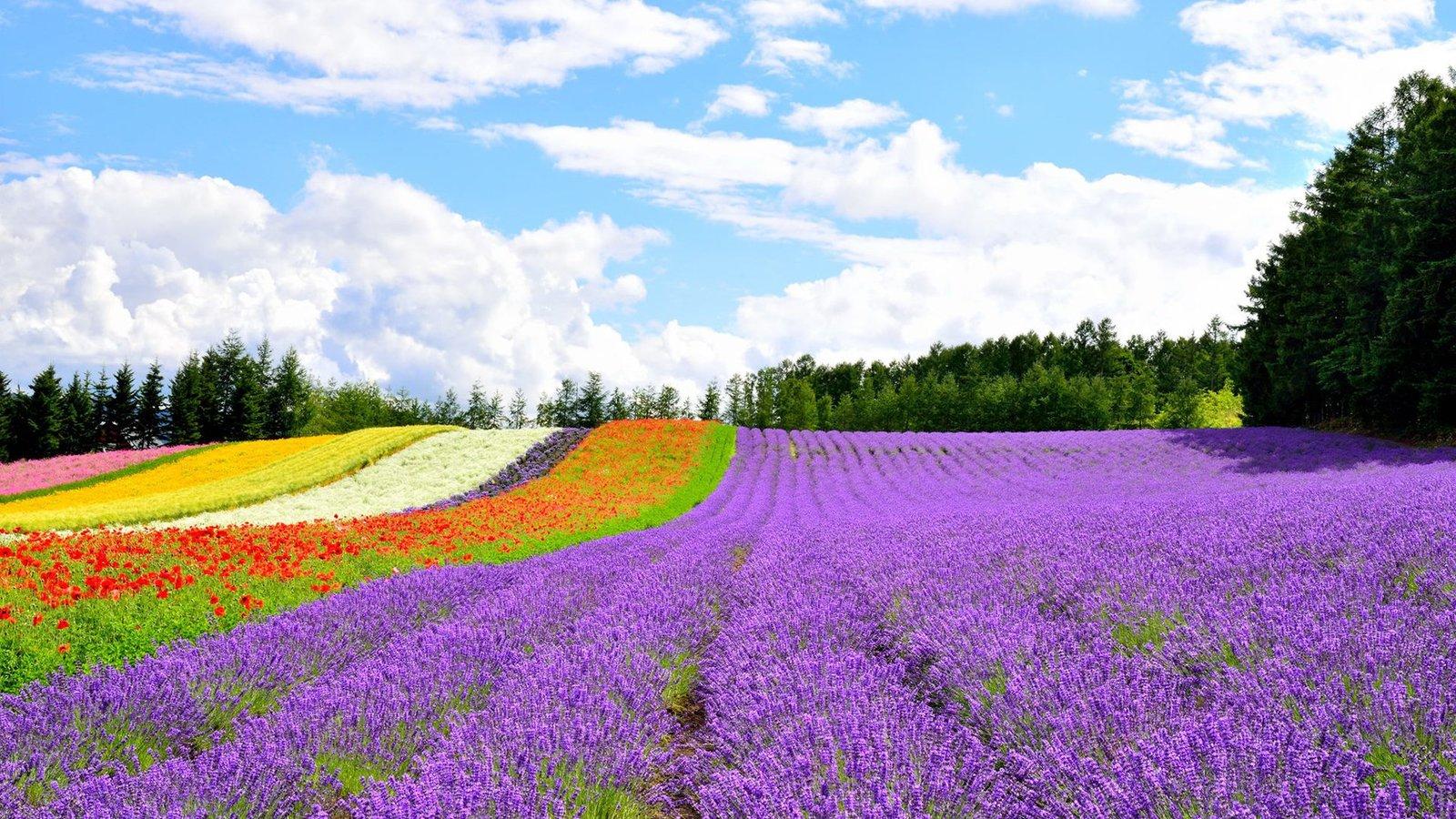 Flower fields in Furano, Hokkaido Japan